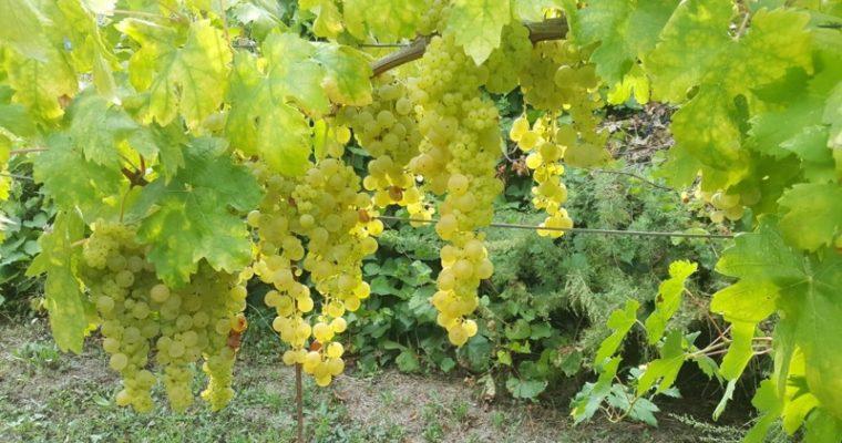 OPG Mihaljević – Novi početak sa Zlataricom i obnova tradicije! Kojim jelima najbolje odgovara ovo vino?